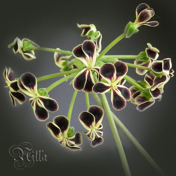 Px glauciifolium