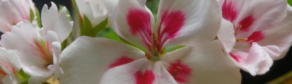 Nillapillas Pelargoner