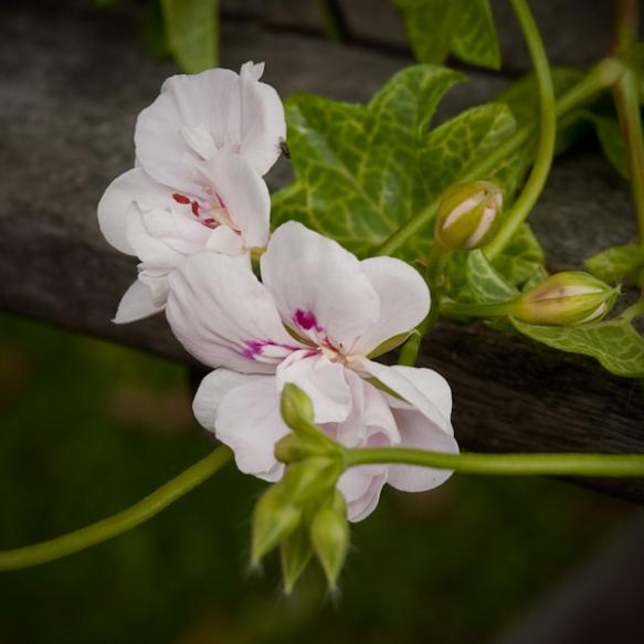 Cotta Lilac Queen knopp ©wermstedt/saikkonen