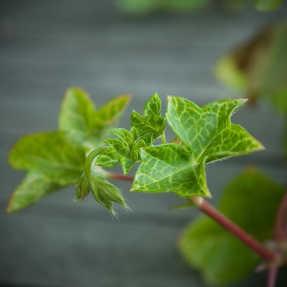 Cotta Lilac Queen blad ©wermstedt/saikkonen