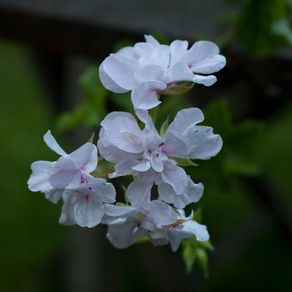 Cotta Lilac Queen ©wermstedt/saikkonen