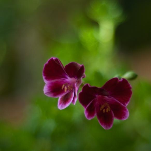 Berkswell Calypso ©wermstedt/saikkonen