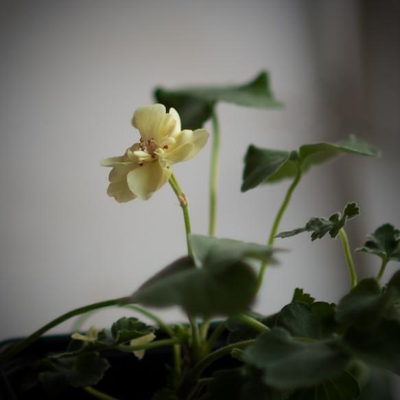 First Yellow ©wermstedt/saikkonen