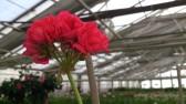 En nyutslagen rosenpelargon!