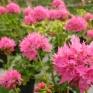 Stjärnpelargonen Pink Bright