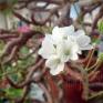 """Den stora """"Cotten"""" (p. cotyledonis) blommar på bar kvist"""