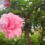 Även lite andra plantor finns i växthuset, här är en jättestor hibiskus