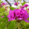 P.cucculatum Flora plena