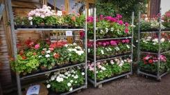 Pelargonproffs har sina plantor på rullvagnar. Men det är svårt att få in sådana där vagnar i en personbil