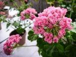 Den öppna klassen vanns av Elisabeth Pettersson med denna vackra Australian Pink Rambler