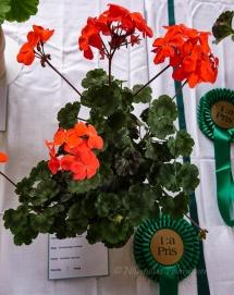 """.... och Patrik Andersson vann klassen Zonalpelargon, miniatyr, med """"Red Black Vesuvius"""