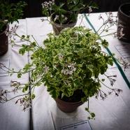 """Elisabeth Petterssons p. """"Fragrans variegatum"""" blev tvåa i primärhybridklassen"""