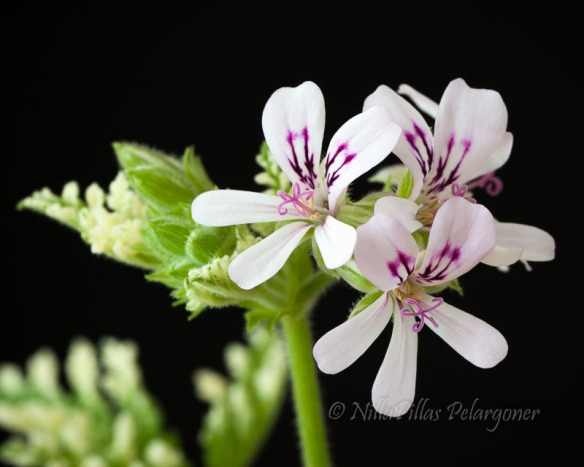 Fragrant Frosty ©Nillapillas Pelargoner