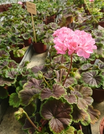 Odensjö Violette Flore