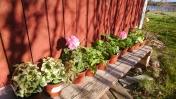 Väl hemma (at home), placerades plantorna i västersolen. Närmast är den brokbladiga Auntie Julia